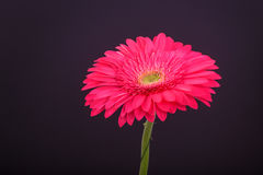 зацветите пинк gerbera Стоковые Изображения RF