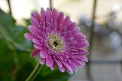 зацветите пинк gerbera Стоковое Фото