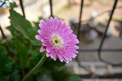 зацветите пинк gerbera Стоковые Фотографии RF