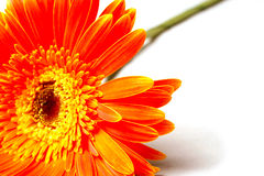 зацветите помеец Стоковые Фото