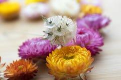 Зацветите предпосылка, bracteatum Xerochrysum, золотое вековечное, цветки strawflower сухие стоковое изображение