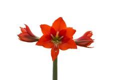 Зацветите при красный крупный план лепестков изолированный на белой предпосылке Стоковые Изображения