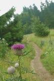 зацветите пурпуровый thistle Пути горы Стоковые Изображения