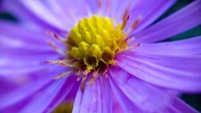 зацветите пурпур Стоковое Фото