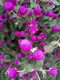 зацветите пурпур Стоковые Фото