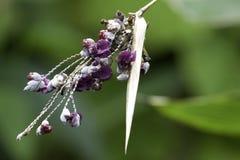 зацветите пурпур Стоковая Фотография