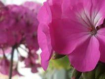 зацветите пурпур стоковое изображение