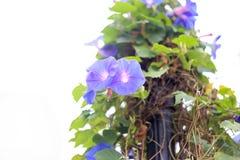 зацветите пурпур Стоковая Фотография RF