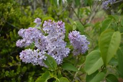зацветите пурпур Стоковое Изображение RF