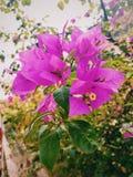 зацветите пурпур Стоковые Изображения RF