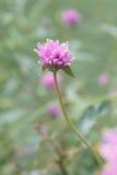 зацветите пурпур стоковые изображения
