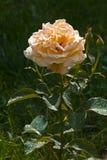 зацветите розовый желтый цвет Стоковые Изображения RF