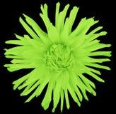 Зацветите салатовое на черной предпосылке изолированной с путем клиппирования closeup большой shaggy цветок астероидов Стоковое фото RF