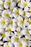 зацветите тайское Стоковое Фото