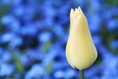 зацветите тюльпан стоковое фото
