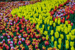зацветите тюльпаны Стоковая Фотография RF