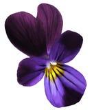 Зацветите цветене pansy на предпосылке изолированной белизной с путем клиппирования Крупный план отсутствие теней Стоковые Изображения