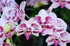 Зацветите цветение предпосылки, розовых и белых орхидеи букета цветков Стоковое Изображение RF