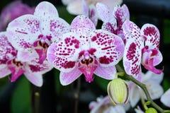 Зацветите цветение предпосылки, розовых и белых орхидеи букета цветков Стоковая Фотография RF