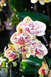 Зацветите цветение предпосылки, розовых и белых орхидеи букета цветков Стоковая Фотография