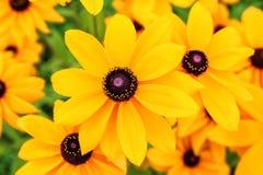 Зацветите цветок Rudbeckia или конуса или наблюданная чернотой Susan Стоковая Фотография