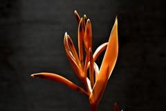 зацветите heliconia Стоковое Изображение RF