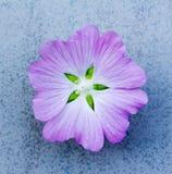Зацветите (lavatera Thuringian) amethyst цвет на голубой предпосылке Стоковые Фотографии RF