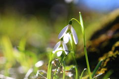 зацветите snowdrop Стоковые Фотографии RF