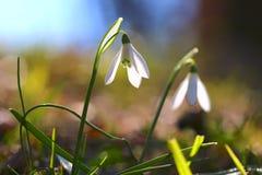 зацветите snowdrop Стоковое Изображение RF