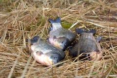 Зацеплять карпа 3 животных удя трава Стоковые Изображения
