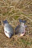 Зацеплять карпа 2 животных удя трава Стоковое Изображение RF