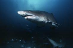 Зашкурьте взгляд тигровой акулы (Тавра carcharias) подводный Стоковые Фотографии RF