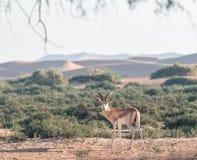 Зашкурьте газеля в пустыне Дубай, ОАЭ Стоковое Изображение RF