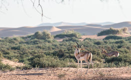 Зашкурьте газеля в пустыне Дубай, ОАЭ Стоковые Фотографии RF