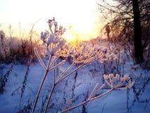 Зашнуруйте парасоли, покрытые с изморозью против захода солнца зимы Стоковые Фотографии RF