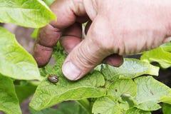 Защита от жука картошки Колорадо Стоковые Изображения RF