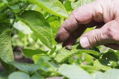 Защита от жука картошки Колорадо Стоковое Изображение
