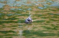 Защитительная цапля большой сини Стоковые Изображения RF