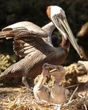 Защитный пеликан матери с детенышами Стоковая Фотография RF