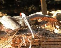Защитный пеликан на гнезде Стоковое Изображение RF