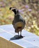 Защищать триперсток Califoria Стоковое Фото