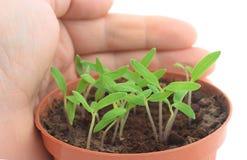 защищенные ростки Стоковые Фото