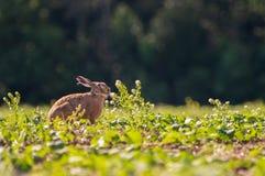Заяц на поле стоковые фотографии rf