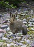 Зайцы Snowshoe Стоковое фото RF