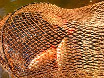 задвижка уловленные рыбы Стоковое фото RF