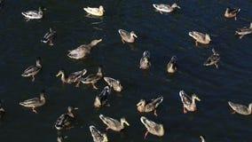 Задвижка хлеба диких уток в реке видеоматериал