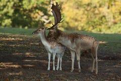 Залежные самец оленя и лань Стоковое Изображение RF