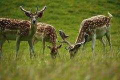 Залежные самцы оленя в запятнанном пальто лета Стоковая Фотография RF