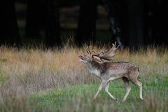 Залежный самец оленя вызывает Стоковое фото RF