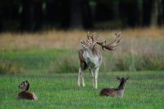 Залежный самец оленя на луге Стоковая Фотография RF